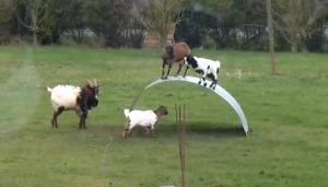 Tre capre si divertono a saltare sulla panca flessibile