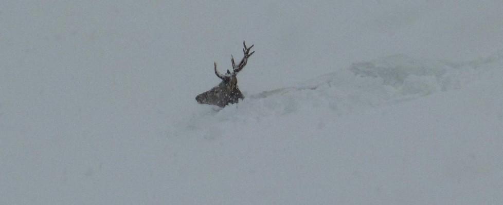 Cervo prigioniero della neve sulle Dolomiti: la foto commuove il web