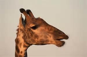 La giraffa Marius