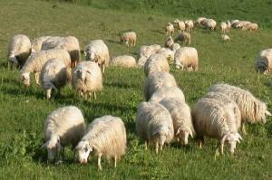 Le pecore gli invadono il terreno, agricoltore le schiaccia col trattore