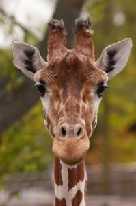 La giraffa Marius uccisa