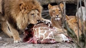 I leoni dello zoo divorano il corpo della giraffa Marius