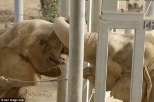 Mary e Mila, i 2 elefanti che si scambiano effusioni a colpi di proboscide