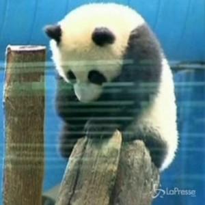 Cucciolo di panda di 40 giorni incanta 25mila persone