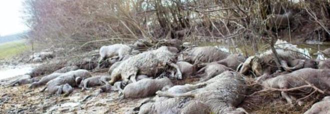 Prà dei Gai, riemergono i cadaveri di 500 pecore annegate