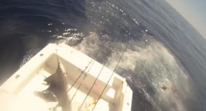 Pesce vela salta sulla barca: i pescatori si buttano in mare