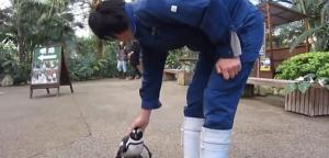 Giappone, cucciolo di pinguino insegue il guardiano
