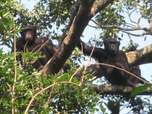 """La """"repubblica"""" degli scimpanzé: costruiscono tane a terra e utensili"""