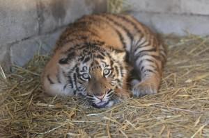 Brindisi, avvistata tigra nelle strade del rione Casale: agenti cercano felino