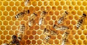 cascina (pisa): sterminate 2mila api alla mieleria di sergio d'agostino