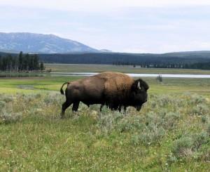 Yellowstone, arriva la norma salva bisonti: potranno pascolare liberi
