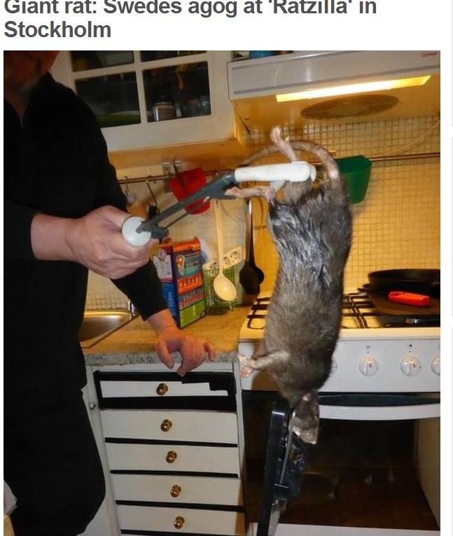 Ratzilla 40 centimetri di topo vichingo in casa un ciccione o una nuova specie blitz quotidiano - Come catturare un topo in casa ...