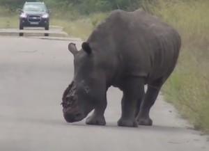 Rinoceronte ferito dai bracconieri e mutilato del corno: il video da Kruger