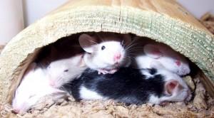 """Cervello, scoperta nei topi area """"social"""": così riconoscono gli """"amici"""""""