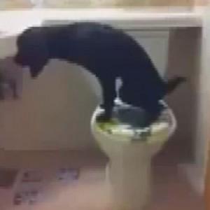 Il cane che fa la pipì nel water e poi tira lo sciacquone