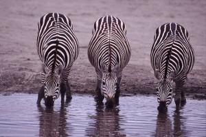 Zebre, a che servono le strisce? Difesa da punture di tafani e mosche tse-tse
