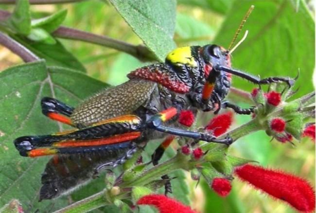 Cavalletta, nuova specie colorata scoperta in Messico (foto)