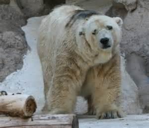 L'orso polare Arturo