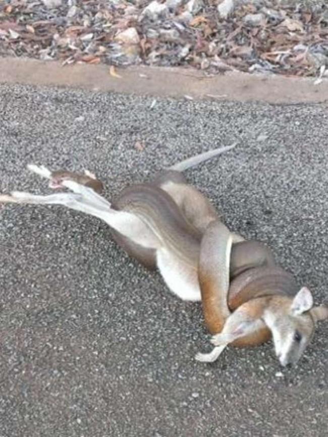 Australia. Pitone mangia cucciolo di canguro nel giardino di una casa (foto)