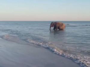 Florida, elefante esce dall'Oceano: era lì per una festa di compleanno