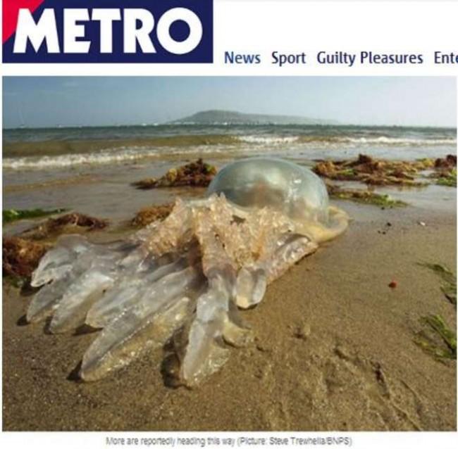 Medusa gigante spiaggiata in Gb: è grande quasi come un uomo