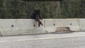 Mamma orsa afferra con la bocca il cucciolo finito in autostrada