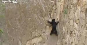 L'arrampicata sulle rocce del cucciolo di orso che insegue la mamma