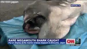 """Squalo molosso pescato in Giappone: lo """"squalo alieno"""" è lungo 4 metri"""