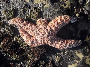 Stelle marine sbiancano e muoiono. Ecatombe e mistero