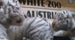 Cinque cuccioli di tigre bianca: nascita record in uno zoo austriaco
