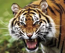 Napoli: tigre fugge dal circo Lidia Togni