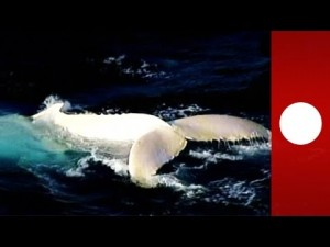 Migaloo, la balena bianca che da 20 anni nuota davanti Sydney