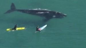 Australia, gruppo di surfisti accerchiano la balena
