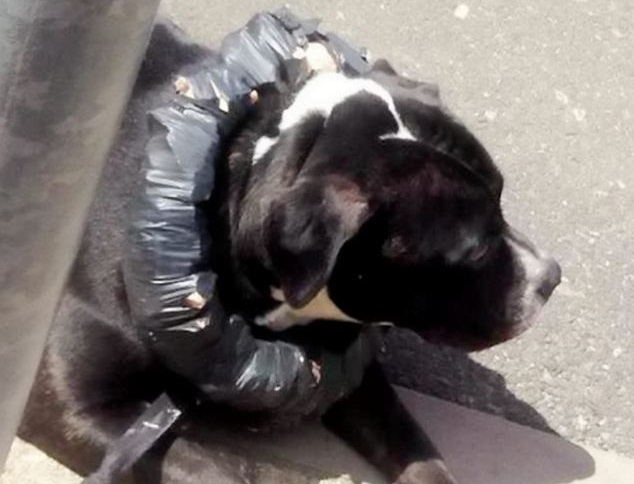 Londra: 27enne costringe il suo cane a indossare un collare di mattoni