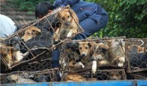 il 21 giugno i cinesi mangeranno 10mila cani