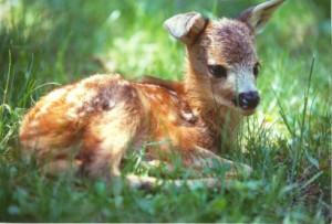 Valpredina, caprioli feriti da falciatrici: i cuccioli rischiano la vita