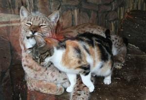 Russia, gatto randagio entra nello zoo in cerca di cibo