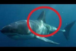Australia, grosso squalo mangiato da un misterioso mostro marino