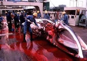 Squartamento su una baleniera giapponese