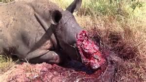 Rinoceronte ucciso per strappargli il corno