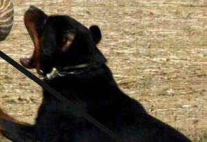 Aprilia. Due donne sbranate da 2 rottweiler e un pastore tedesco