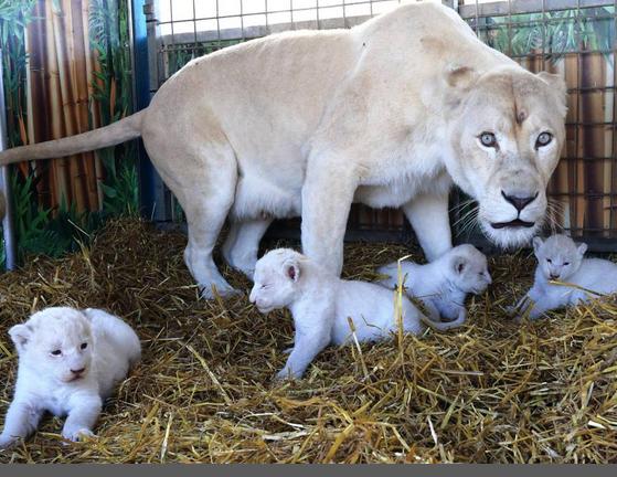 Cuccioli di leone bianco nati nel circo di Magdeburgo FOTO