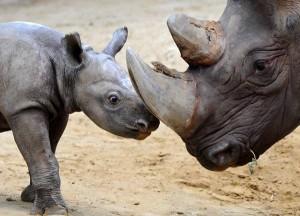 Rinoceronti, il corno 65mila dollari al chilo e 25 anni di carcere