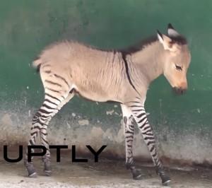 Zonkey, animale mezzo asino e mezzo zebra: è nato allo zoo di Taigan VIDEO