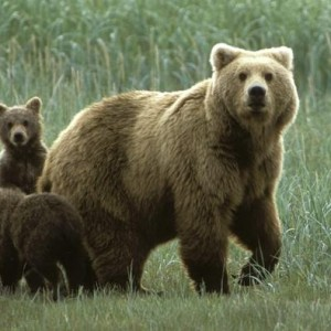 La fuga dell'imprendibile orsa Daniza. Jenner Meletti, Repubblica