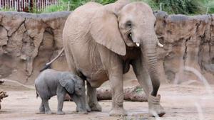 Cucciolo elefante ha solo un mese: zoo di Tucson lo mostra per la prima volta