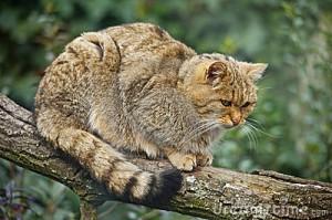 La grande caccia dei gatti selvatici australiani: ogni notte 75 milioni di prede