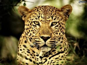 India, leopardo mangia uomini. Attacca soprattutto ubriachi