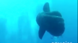Mola Mola avvistato nelle acque di Malta: è il gigantesco pesce luna
