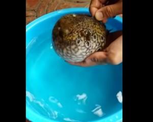 Pesce palla nel mar Ligure, è uno dei più velenosi al mondo